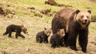 A grizzly sow with triplets in Yellowstone National Park