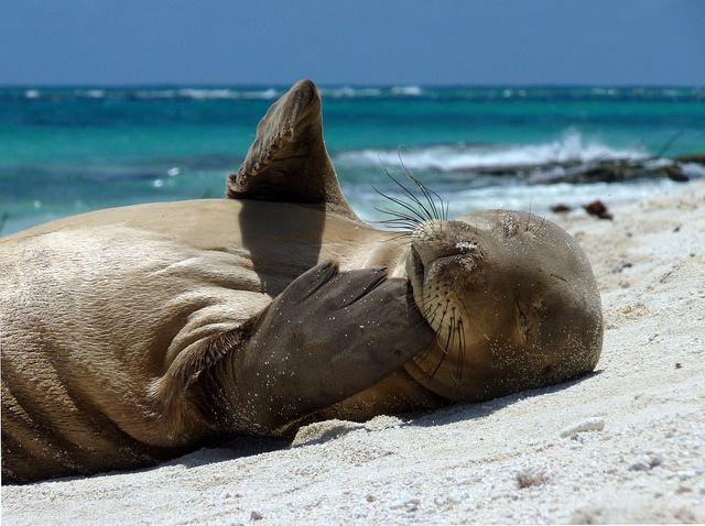 A juvenile Hawaiian monk seal in Papahānaumokuākea Marine National Monument.