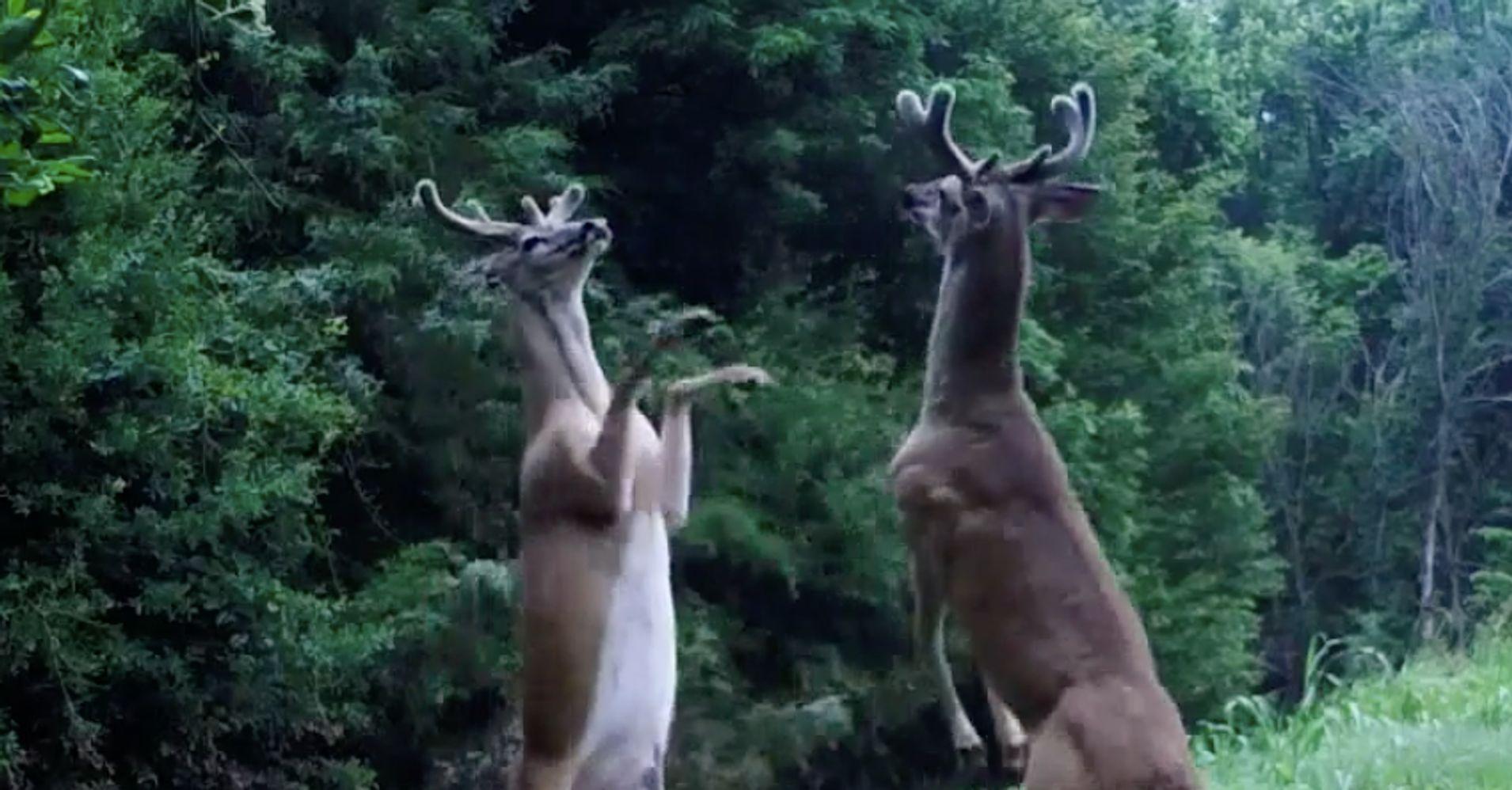 Deer Caught On Camera Engaging In Bizarre 'Slap Fight'