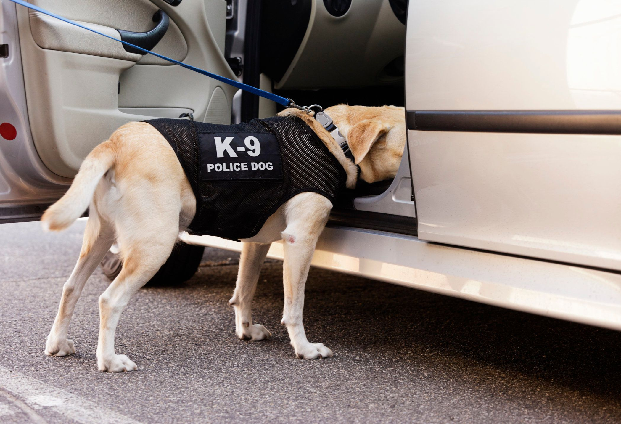 A drug-sniffing police dog investigates the inside of a car.