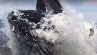 Paul Ziolkowski of New Jersey captures massive humpback whale next to his fishing boat
