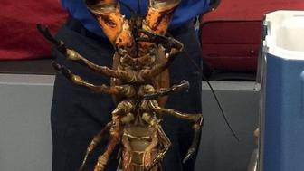 This photo posted to Twitter by the Transportation Security Administration shows an agent holding a live lobster that weighs 20 pounds