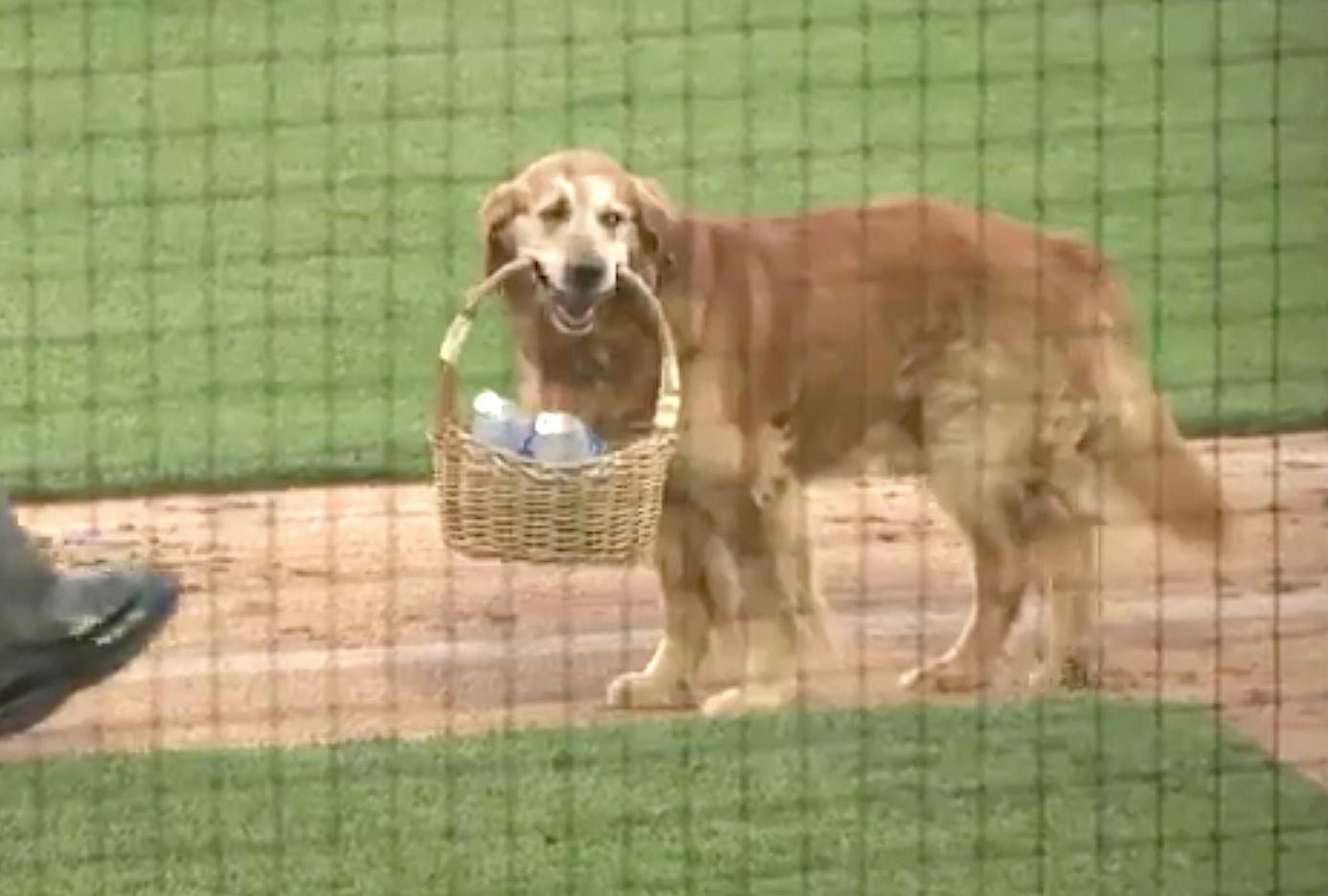 Very Good Dog Brings Water To Umpire During Baseball