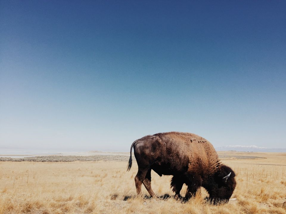 """Davis Bell. Los Angeles CA, United States.<strong>2ndPlace –</strong><strong>The America I Know.<br /></strong><br /><i>""""As we made our way around Antelope Island on that clear and crisp September day I couldn't help but be startled and amazed at the immenseness of these bison. Out here on the open field as they moved about the dry golden grass above the Salt Lake, slowly, deliberately, the feeling of quiet strength was humbling to me, the observer. In many ways this image encapsulated my internal search on this particular road trip. Being but an arms length away from this gargantuan creature gave me some pause for reflection in my search for so many answers. Here this animal that became the imagery of The West, and whose lore is interwoven with pioneers, cowboys, and the earliest inhabitants of these American plains, stands as a mythical remnant, a symbol, of our American journey and what is possible with a little foresight, a little courage, and a lot of dedication.""""</i><strong><br /></strong>"""