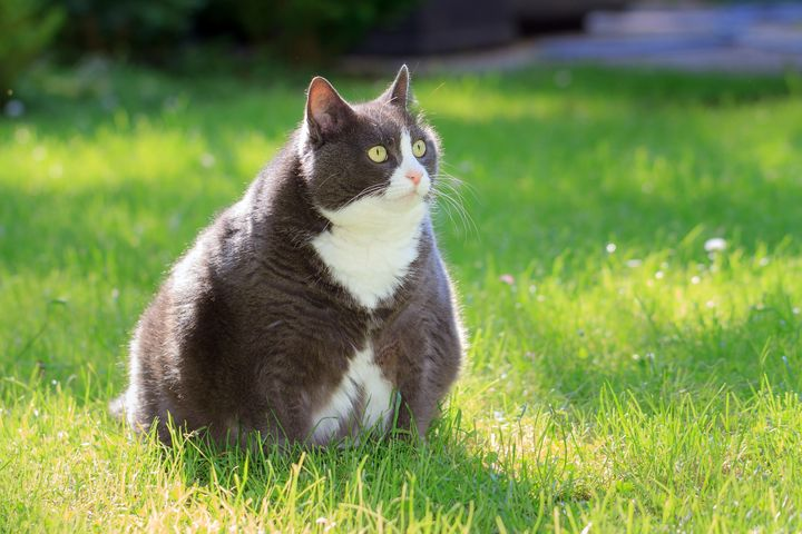 Obesity Dogs And Cats