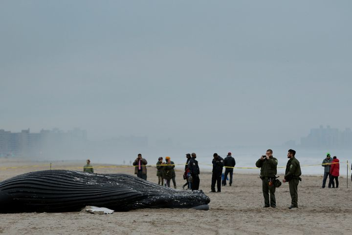"""A dead humpback whale <a href=""""http://www.nydailynews.com/new-york/queens/dead-whale-washes-ashore-rockaway-beach-article-1.3"""