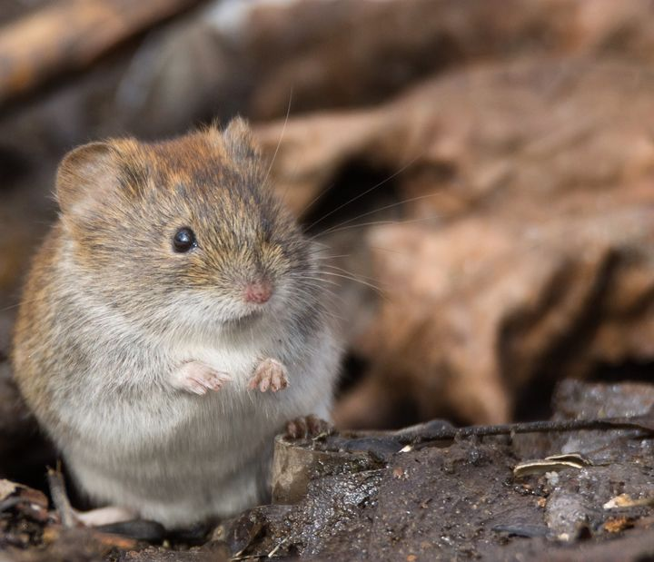 Fleas transmit plague after biting infected rodents, like mice.