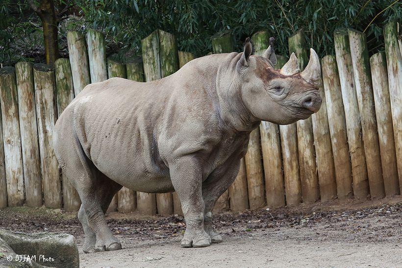 Pregnant black rhino Seyia