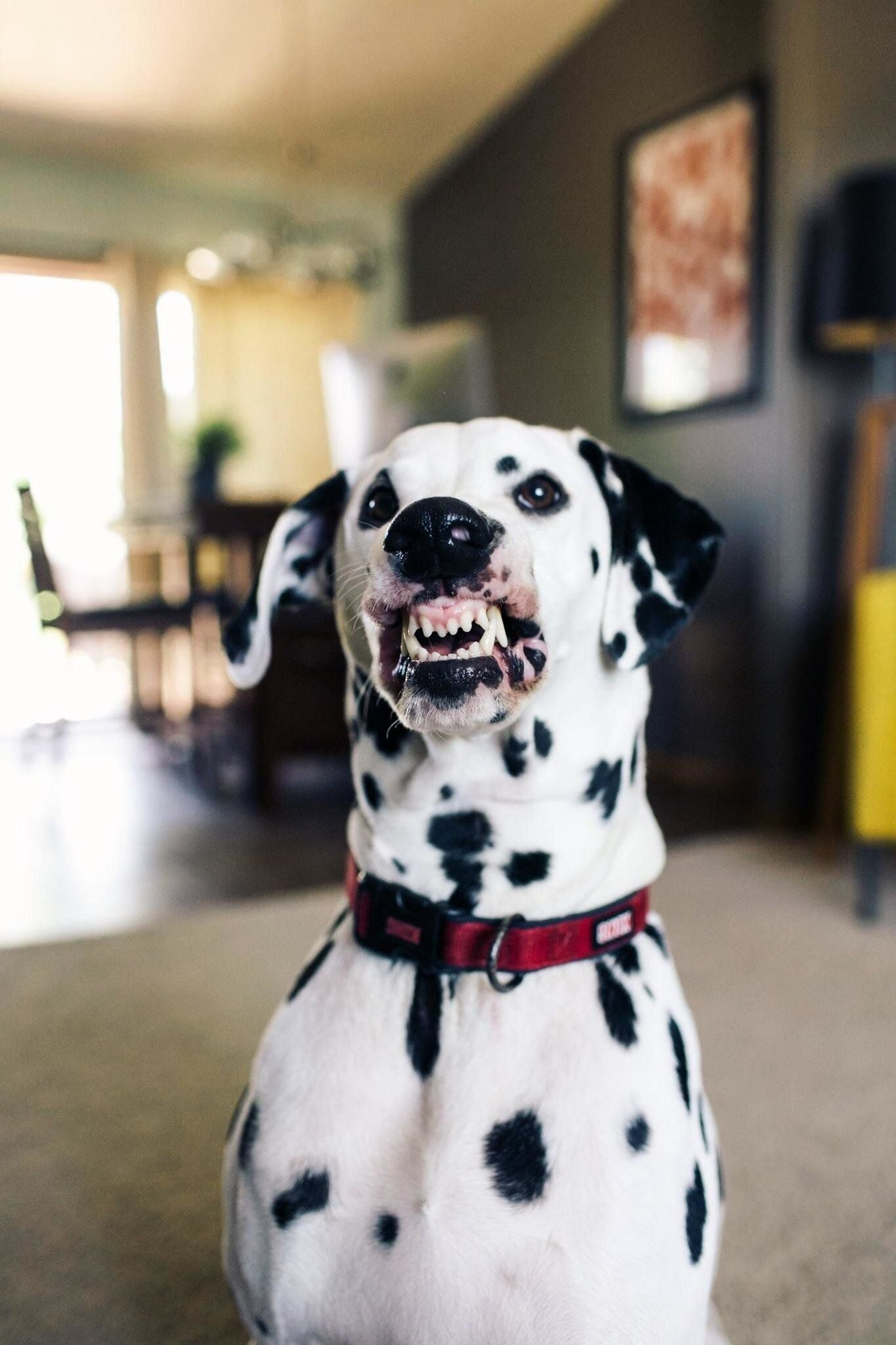 This Dog Was Trained To Smile On Command And Is Absolutely Nailing
