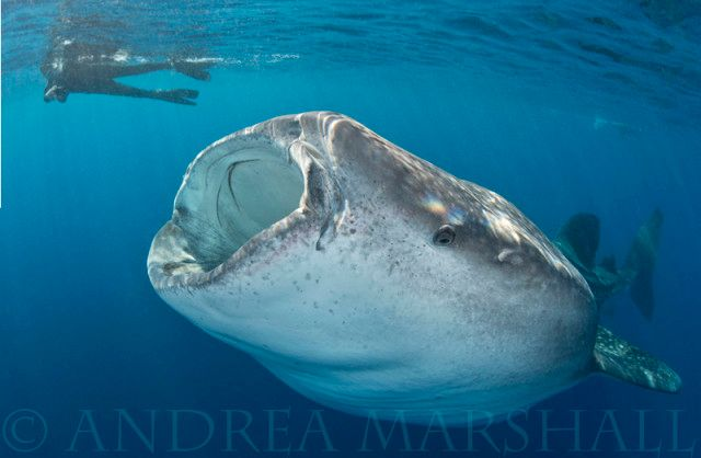 Researching Whale Sharks in Mexico