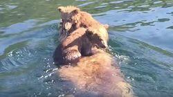 Adorable Bear Cubs Hitch A Ride On Mum's Back Across An Alaska