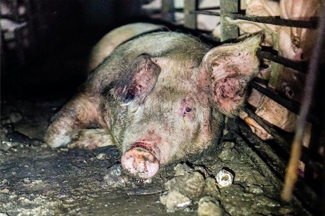 Pigs live in filthy conditions, endangering not just animals but the local human population.