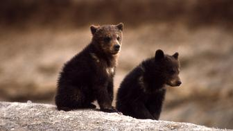 -PHOTO TAKEN 66- Two grizzly bear cubs are seen in the Yellowstone National Park in this 1966 photograph. Protected for 30 years, grizzlies near Yellowstone National Park could become fair game after the[Bush administration] on November 15, 2005 took the first step to remove the bears from the U.S. endangered species list. Grizzlies are rebounding from a low of about 220 in 1975, when it was listed as threatened in the lower 48 states, to more than 600 now.     ??? USE ONLY