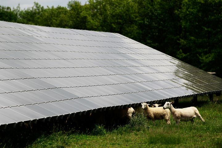 Sheep graze beside solar panels in Long Pond, Pennsylvania, on June 6, 2015.