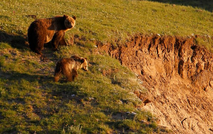 A grizzly bear and her cub are seen in the Hayden Valley in Yellowstone National Park, Wyoming, June 24, 2011.