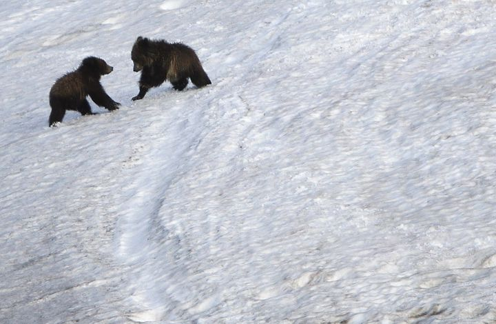 Grizzly bear cubs play on snow in the Hayden Valley in Yellowstone National Park, Wyoming, June 24, 2011.