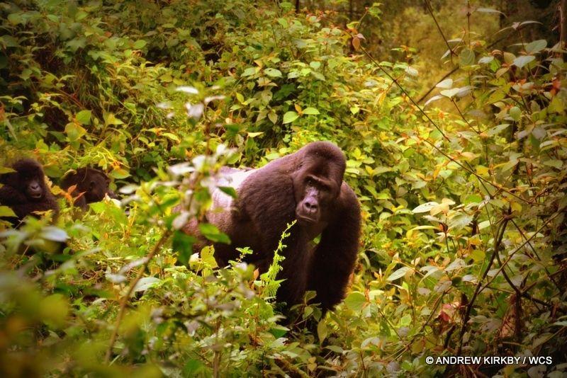 Silverback male Grauer's gorilla in Kahuzi-Biega National Park.