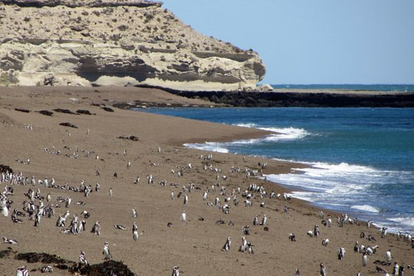 Magellanic penguin colonies on the Península Valdés on the coast of Argentina .