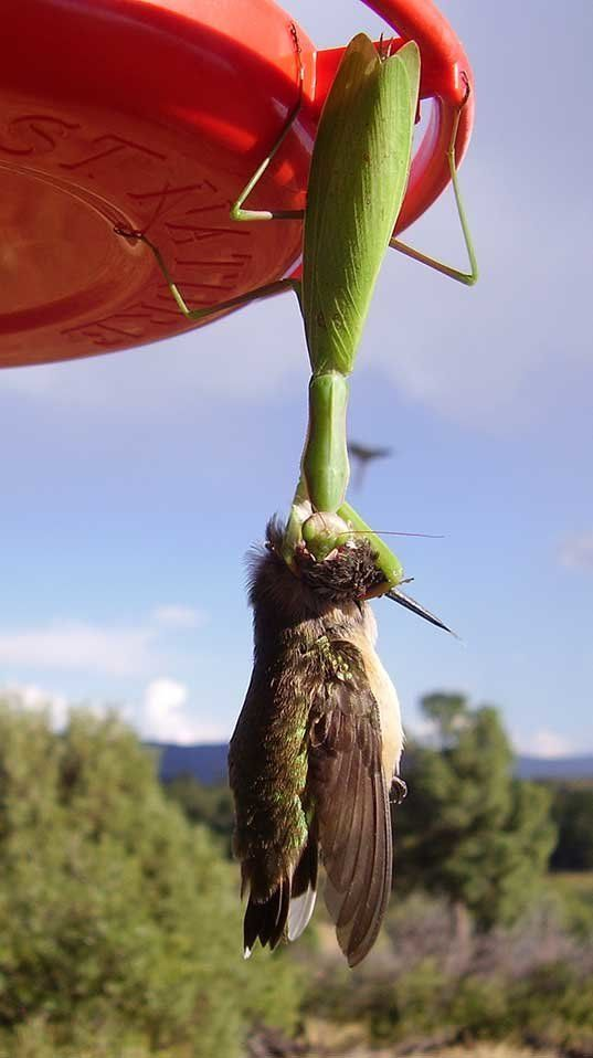 A mantis eats a black-chinned hummingbird in Colorado.