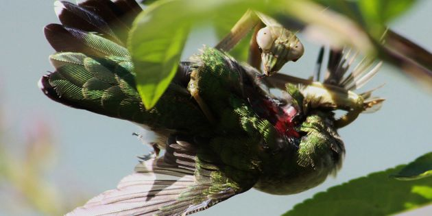 A mantis hunts down a ruby-throated