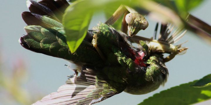 A mantis hunts down a ruby-throated hummingbird.