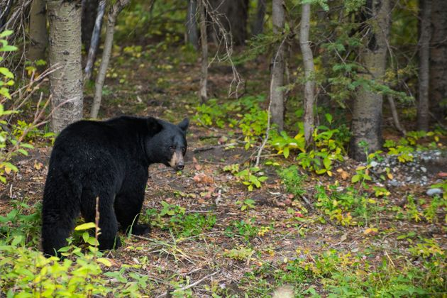 Black bears are not usually aggressive (file