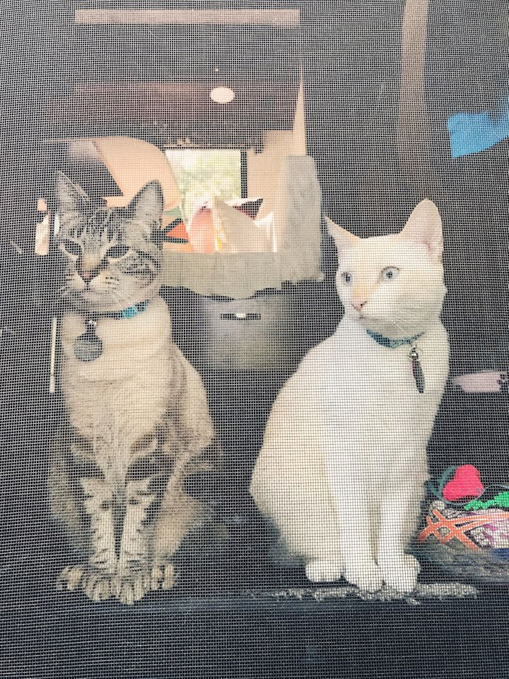 <p>Parker Blue and Java in their favourite spot...sitting on the step of the Motorhome. </p>