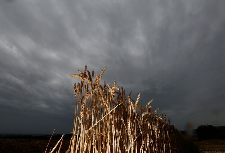 Cloud cover and excess rain are causing major fluctuations in global wheat harvests.