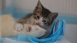 Fearless Rats Are Caring For Orphan Kittens At This Magical Cat