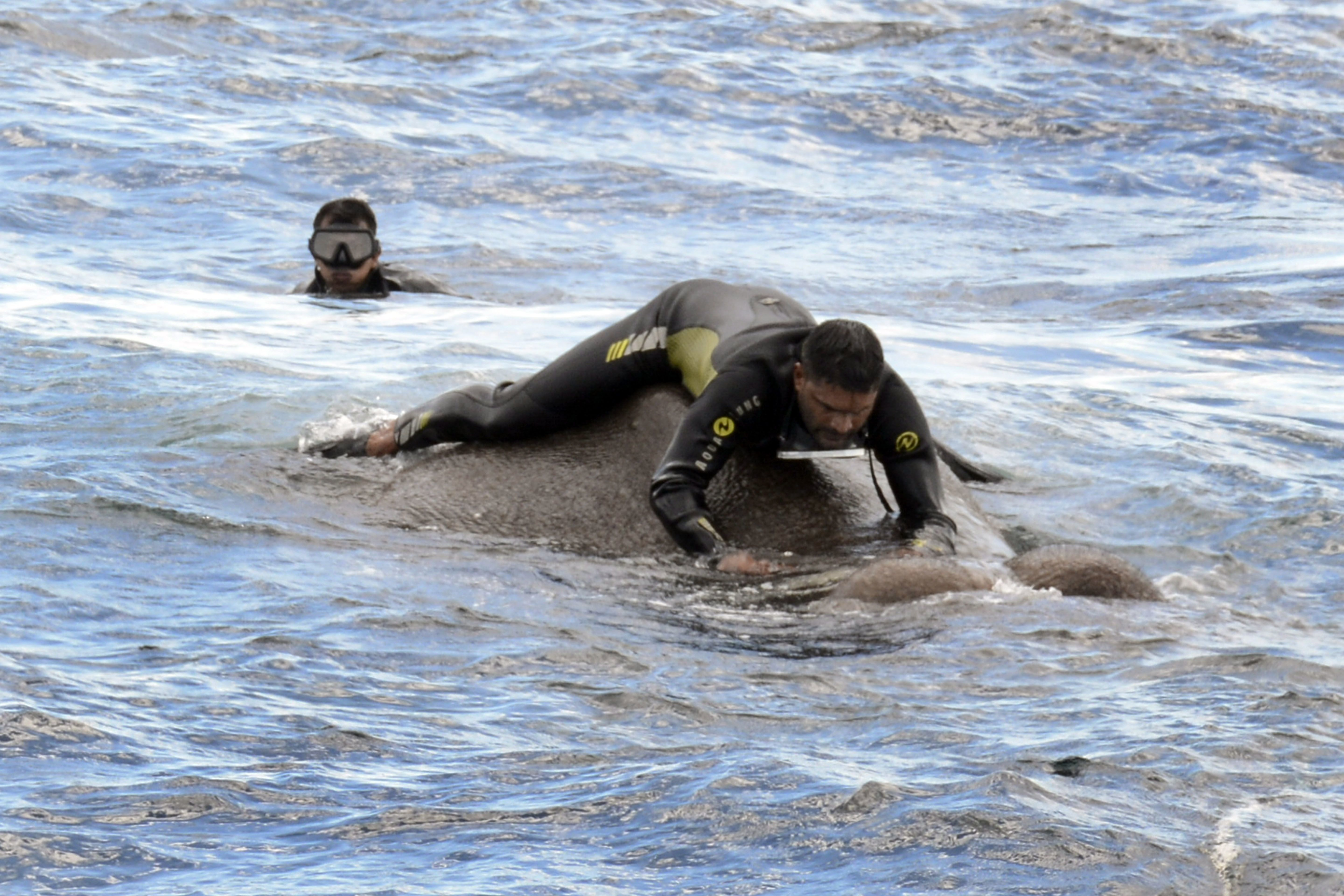 This handout photo from the Sri Lankan Navy shows a rescue worker tying a rope around the elephant.