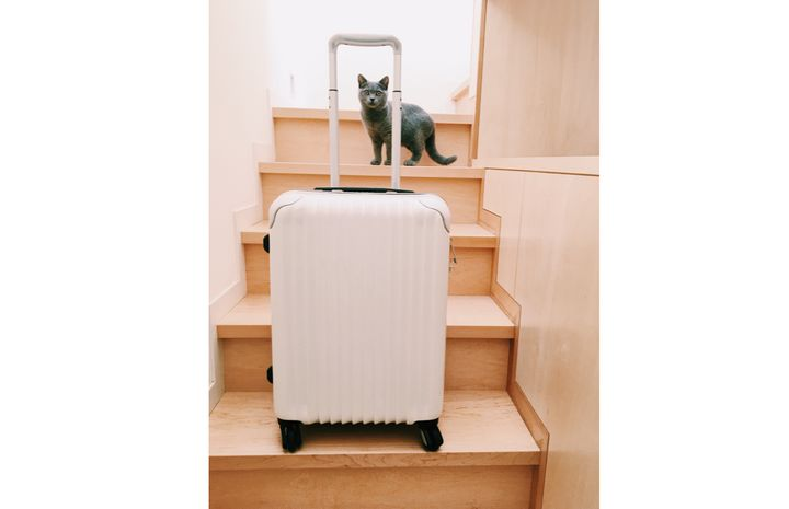 <p>Sumire, a british short hair cat, welcomes guests.</p>