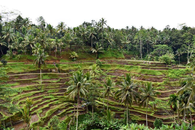 The stunning rice terrace near Ubud.