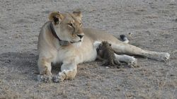 Wild Lioness Nurses Leopard Cub In 'Unprecedented'