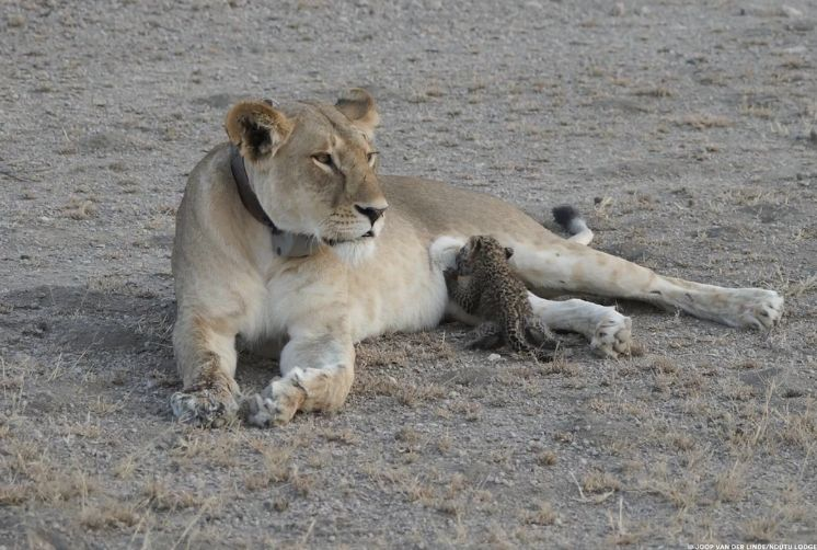 A lioness known as Nosikitok, wearing a tracking collar from a conservation group, nurses a young leopard cub in what ex