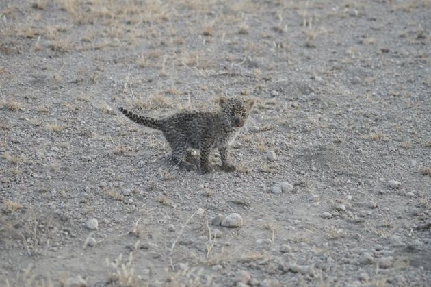The little leopard's fate is