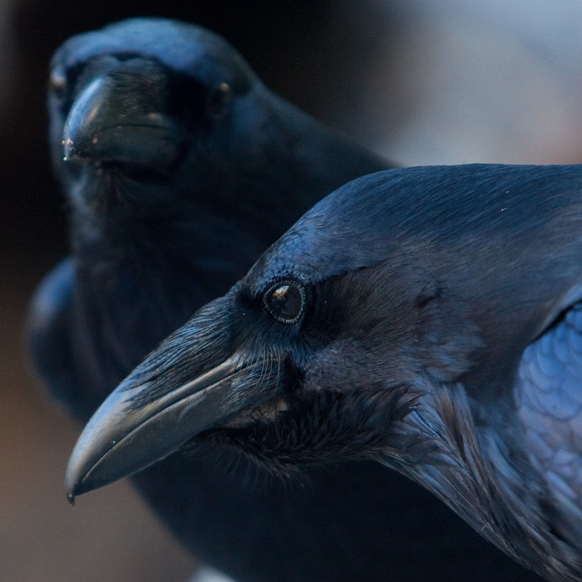 Ravens Can Plan Ahead, Similar to Humans and Great Apes