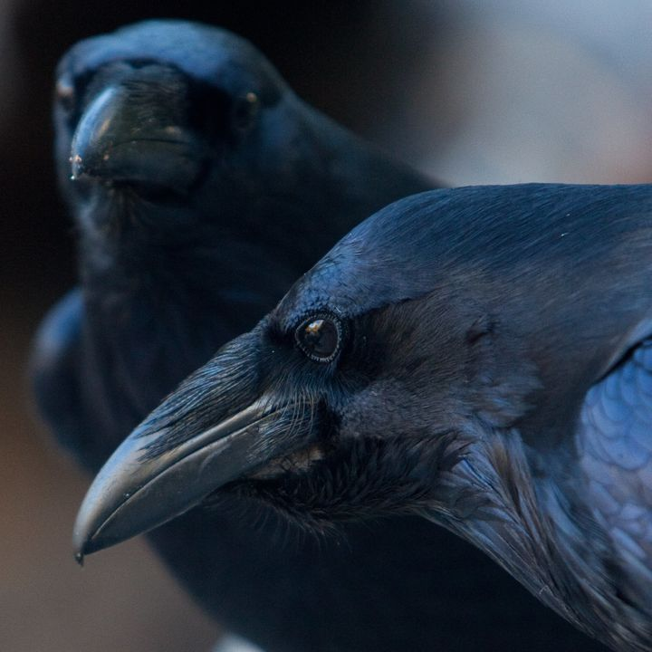 Did you think ravens weren't smart? Nevermore.