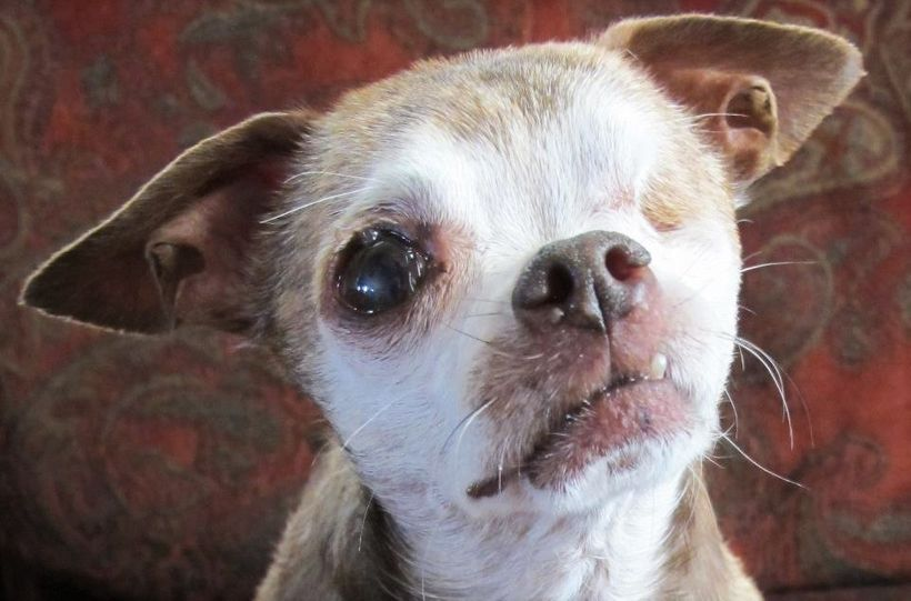 Harley suffered 10 years of abuse in a small cage in a puppy mill, producing hundreds of puppies which were sold in pet store