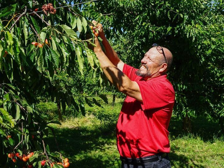 <p>Alfonso Alvarez on his 42-acre cherry orchard.</p>