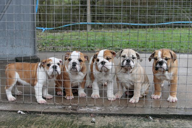 In March 2017 a litter of five English Bulldogs were seized at Dover on suspicion of being