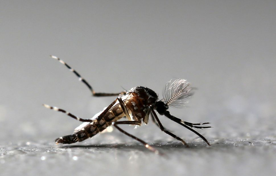 Aedes aegypti mosquitoes carry dengue fever.