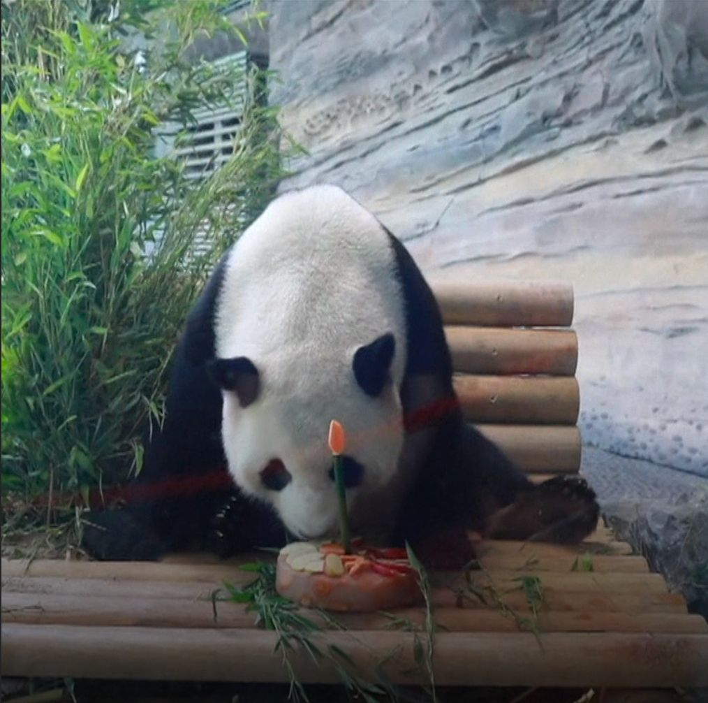 Chinese panda Jiao Qing rang in his seventh birthday in Berlin with a bamboo ice cake and plenty of onlookers