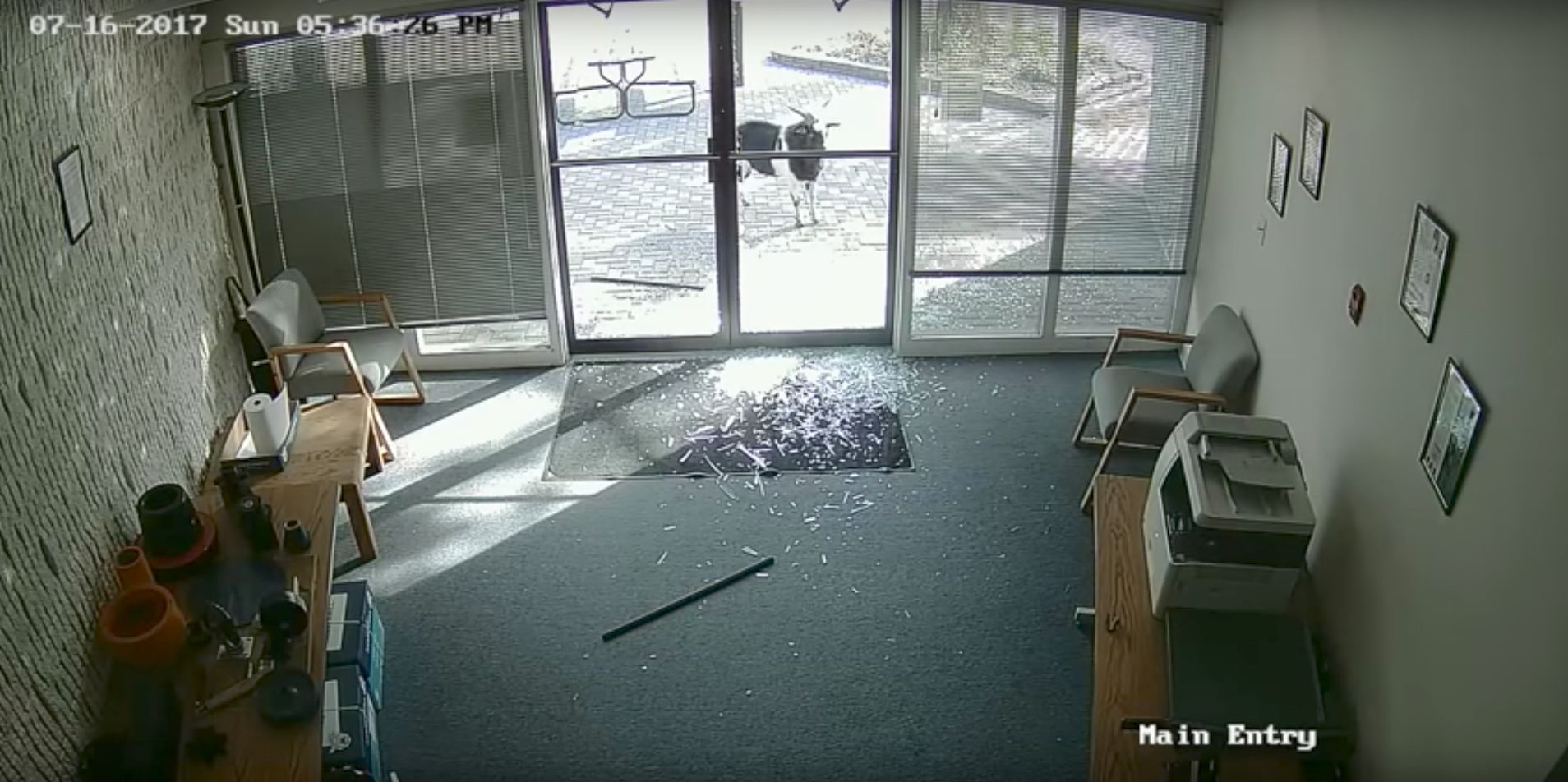 A goat steps back and appears to survey the destruction it caused to a Colorado offices glass entrance