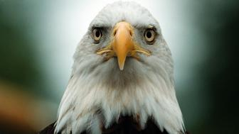 379030 02: Challenger, a 10 year-old male bald eagle sits quietly during an event to celebrate the success of the Endangered Species Act where it was announced an action to remove the American bald eagle from the endangered species list during an event on the South Lawn of the White House, Friday, July 2, 1999.(photo by John Edwards