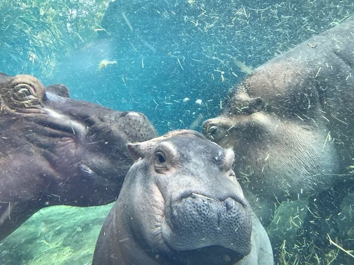 A new ice cream flavor has been named after the internet's favorite baby hippo.