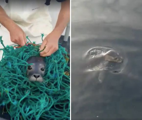 An adorable seal pup was filmed being cut free from a fishing net before tossed back into the water