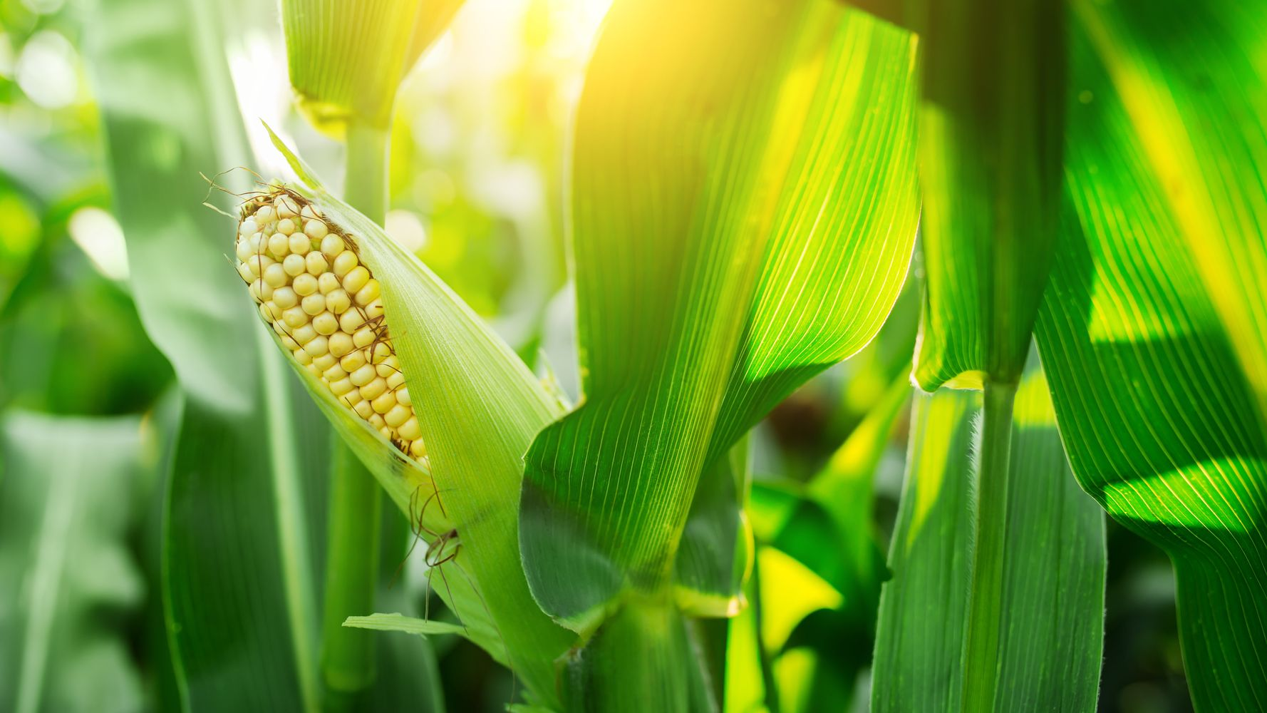 There's A Huge Difference Between The Corn We Eat vs  What Cows Eat