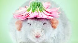 This Photographer Fights Rat-Phobia With Irresistibly Cute