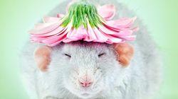 Una fotógrafa combate la fobia a las ratas con estas irresistibles