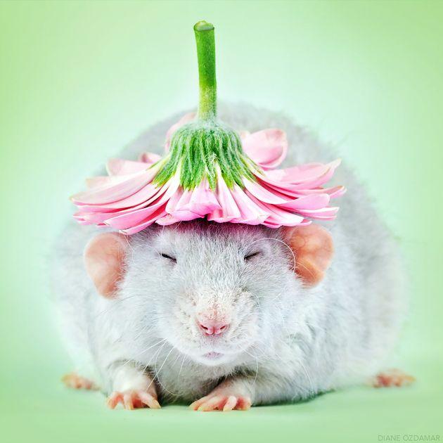 Cette photographe vaincra votre peur des rats grâce à ses photos absolument